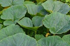 Les grandes feuilles de potiron se développent dans le jardin avec une jeune fleur jaune de potiron photos libres de droits