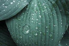 Les grandes feuilles géantes de vert bleu de Hosta et les fleurs blanches mûrissent et h photos stock