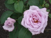 Les grandes fleurs du thé rose-clair se sont levées dans le jardin en été photo stock