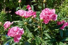 Les grandes fleurs et le feuillage de la pivoine Images stock
