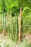 les grandes pousses de bambou, qui ont poussé de la terre pour élever I image libre de droits