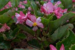 Les grandis de bégonia sèchent Images stock