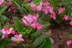 Les grandis de bégonia sèchent Photographie stock libre de droits
