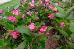 Les grandis de bégonia sèchent Photos stock