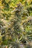 Les grands cannabis plantent à l'se développent photo stock