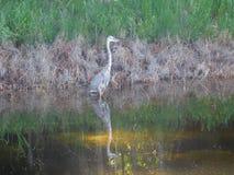 les grands herodias d'Ardea de héron bleu est un grand oiseau pataugeant photographie stock