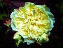 Les grands jaunes se sont fanés rose Images stock