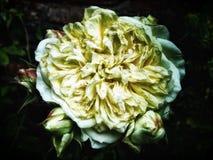 Les grands jaunes se sont fanés rose Photographie stock libre de droits