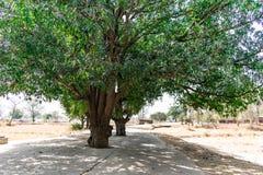 Les grands manguiers de verdure au centre d'une route de village rural clôturent la vue regardée une fois photo libre de droits