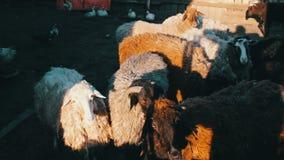 Les grands moutons de laine dans le pré ont tiré par une grille de barrière banque de vidéos