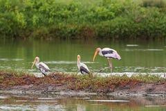 Les grands oiseaux peints d'échassier de cigogne avec le bec jaune dentellent le resti de jambes Photographie stock