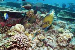 Les grands poissons de déclencheur s'approchent des coraux, Maldives photographie stock libre de droits
