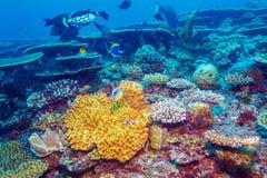 Les grands poissons de déclencheur s'approchent des coraux, Maldives photo libre de droits