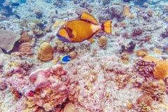 Les grands poissons de déclencheur s'approchent des coraux, Maldives photos libres de droits
