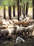 Les Grands Pyrénées gardent ses moutons avec l'effet focal de bourdonnement image stock