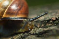 Les grands rampements d'escargot Photographie stock libre de droits