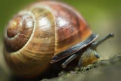 Les grands rampements d'escargot Photographie stock