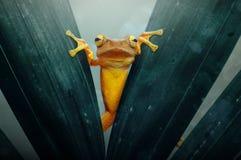 Les grenouilles d'arbre scrutent derrière la feuille Images libres de droits