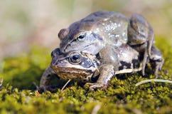 Les grenouilles effectuent l'amour. Temps de accouplement de grenouille au printemps. Photos stock