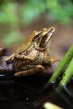 Les grenouilles se reproduisent Images libres de droits