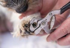 Les griffes ont coupé par un chien de Jack Russell Terrier Fin vers le haut photos stock