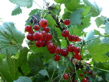 Les groseilles rouges sont les baies très savoureuses et utiles pour votre santé Image stock