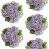 Les groupes colorés par pastel de fleurs fraîches photographiées d'hortensia ont arrangé sur le fond blanc Image sans joint photo libre de droits