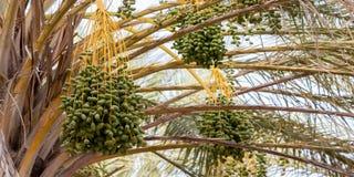 Les groupes de dates vertes sur le palmier, Tunisie, Afrique photo libre de droits
