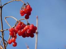 Les groupes de viburnum rouge, baies rouges, Guelder ont monté Photos stock
