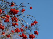 Les groupes de viburnum rouge, baies rouges, Guelder ont monté Image libre de droits