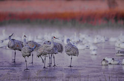 Les grues froides de sandhill se tiennent sur des étangs de glace à Bosque del Apache photographie stock libre de droits