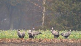 Les grues ou l'Eurasien communes tend le cou des oiseaux de Grus de Grus alimentant dans des domaines de maïs banque de vidéos
