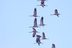 les grues Rouge-couronnées volent dans le ciel bleu Images libres de droits