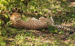 Les guépards africains dans le masai Mara se garent au Kenya Photo stock