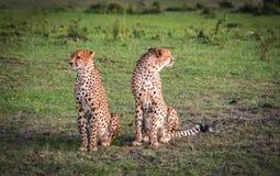 Les guépards africains dans le masai Mara se garent au Kenya Photos stock