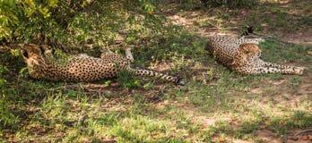 Les guépards africains dans le masai Mara se garent au Kenya Image libre de droits