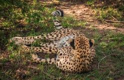 Les guépards africains dans le masai Mara se garent au Kenya Images stock