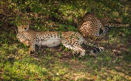 Les guépards africains dans le masai Mara se garent au Kenya Photographie stock libre de droits