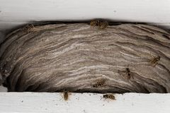 Les guêpes nichent parmi les faisceaux en bois blancs dans le toit d'une maison Images stock