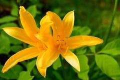 Les hémérocalles jaunissent, ou lis jaune, ou lat de trazodne Lilioasphodelus de Hemerocallis photos libres de droits