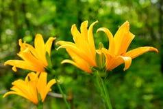 Les hémérocalles jaunissent, ou lis jaune, ou lat de trazodne Lilioasphodelus de Hemerocallis photographie stock libre de droits