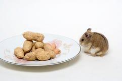 Les hamsters mangent des arachides Photos stock