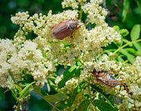 Les hannetons mangent des fleurs de cendre de montagne Images libres de droits