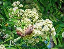 Les hannetons mangent des fleurs de cendre de montagne Image libre de droits