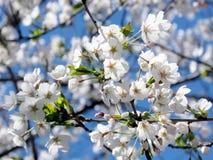 Les hautes fleurs de cerisier de parc de Toronto fleurissent 2018 Images stock