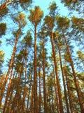 Les hauts pin-arbres sont dans la forêt Photo libre de droits