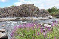 Les herbes de pré fleurissantes dans la perspective d'une rivière rapide et du basalte opposé marchent Photo stock