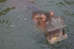 Les hippopotames mangent du maïs dans l'eau comme faim photo libre de droits