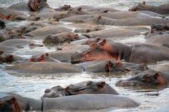Les hippopotames mettent en commun, serengeti, Tanzanie Image libre de droits