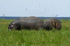 Les Hippopotamuses dung l'eacother de pulvérisation Images libres de droits